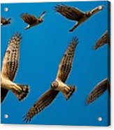 Northern Harrier Sequence Acrylic Print