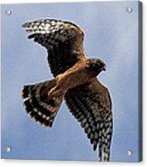 Northern Harrier Acrylic Print
