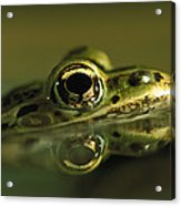 Northern Leopard Frog Acrylic Print