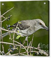 Northern Mockingbird Acrylic Print