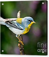 Northern Parula Warbler Acrylic Print