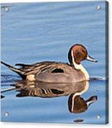 Northern Pintail Drake Acrylic Print