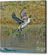Northern Pintail Drake Taking Acrylic Print