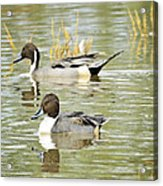Northern Pintail Ducks  Acrylic Print