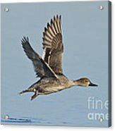 Northern Pintail Hen Acrylic Print