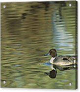 Northern Pintail In A Quiet Pond California Wildlife Acrylic Print