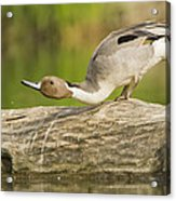 Northern Pintail  Acrylic Print