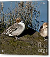 Northern Pintail Pair At Rest Acrylic Print
