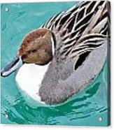 Northern Pintail Acrylic Print