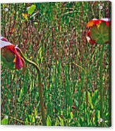 Northern Pitcher Plant In French Mountain Bog On Cape Breton Isl Acrylic Print