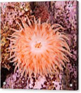 Northern Red Anemone Acrylic Print