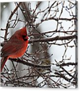 Northern Red Cardinal In Winter Acrylic Print