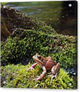 Northern Red-legged Frog Acrylic Print