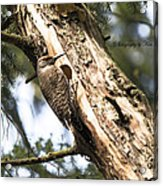 Northern Red Shafted Flicker Acrylic Print