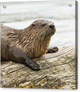 Northern River Otter Acrylic Print