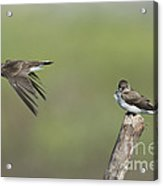 Northern Rough-winged Swallows Acrylic Print