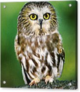 Northern Saw-whet Owl Aegolius Acadicus Wildlife Rescue Acrylic Print