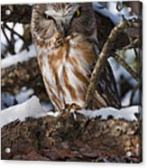 Northern Saw-whet Owl.. Acrylic Print