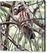 Northern Saw-whet Owl  Acrylic Print
