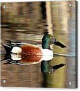 Northern Shoveler Drake Reflection Acrylic Print