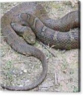 Northern Water Snake Acrylic Print