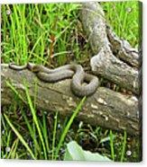 Northern Water Snake - Nerodia Sipedon Acrylic Print