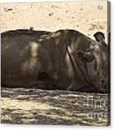 Northern White Rhinoceros - Ceratotherium Simum Cottoni Acrylic Print