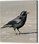 Northwestern Crow Acrylic Print