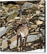 Norway, Troms Male Reindeer (rangifer Acrylic Print