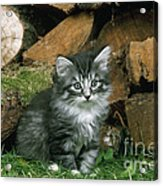 Norwegian Forest Kitten Acrylic Print