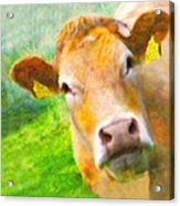 Nosey Cow Acrylic Print by Jo Collins