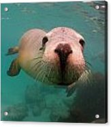 Nosey Sea Lion Acrylic Print