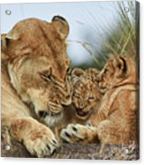 Nostalgia Lioness With Cubs Acrylic Print