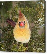 Not-so-angry Bird Acrylic Print