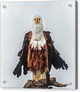 Not So Majestic Eagle Acrylic Print