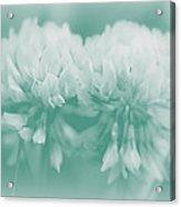 Not-so-white White Clover Acrylic Print