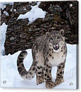 Not Too Close -  Please Acrylic Print