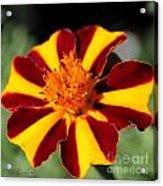 Novelty French Marigold Named Mr. Majestic Acrylic Print