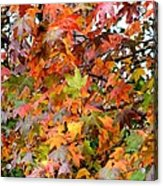 November's Maples Acrylic Print