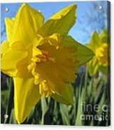 Now That's A Daffodil Acrylic Print