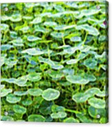 Nuanced Nasturtium Acrylic Print