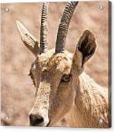 Nubian Ibex Capra Ibex Nubiana 1 Acrylic Print