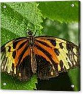 Numata Longwing Butterfly Acrylic Print