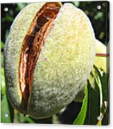 Nut Case Acrylic Print