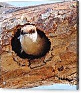 Nuthatch Bird In Nest Acrylic Print