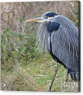 Nw Blue Heron Acrylic Print