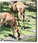 Nyalas At The Watering Hole Acrylic Print
