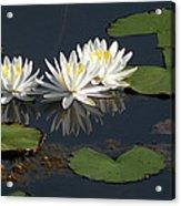 Nymphaea Odorata - Fragrant White Waterlilies Acrylic Print