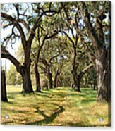 Oak Allee At Roseland Plantation  Acrylic Print