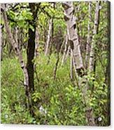 Oak And Birch Acrylic Print